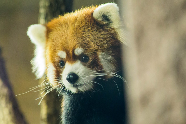 Red Panda!, Canon EOS 6D, Canon EF 70-300mm f/4-5.6 IS USM