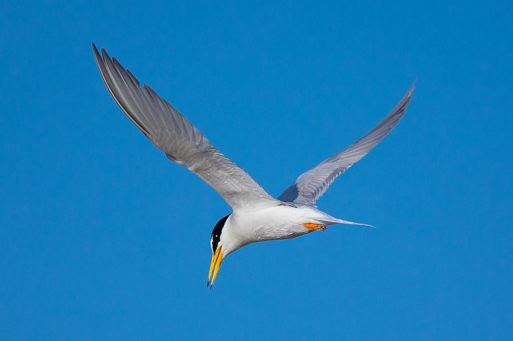 小燕鷗-2687