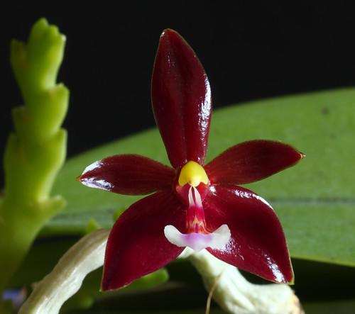 Phalaenopsis cornu-cervi f. chattaladae