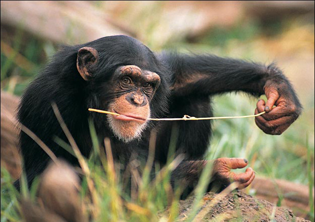 "Còmo se ""medica"" un chimpancè"