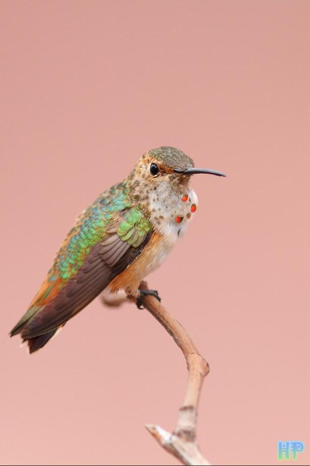 Allen's Hummingbird 080513-4