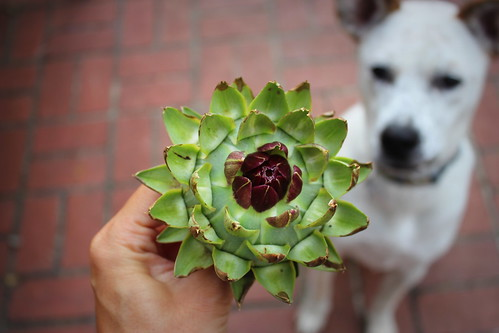 20130817. Birdie has an interest in artichokes.
