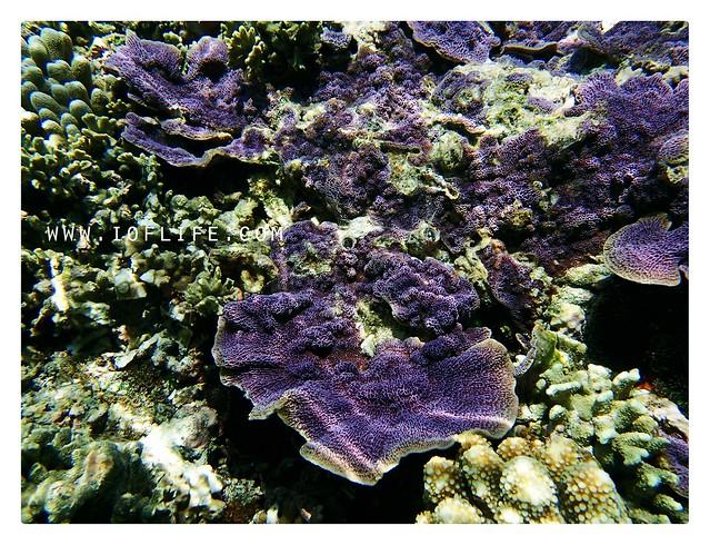 Karang ungu pulau kambing