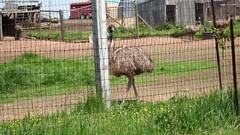 Emu ranching, near Keymar, Maryland