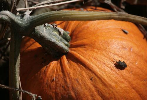 Pumpkin Bug by peterkelly