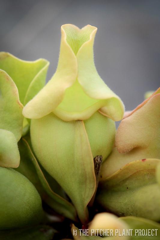 Sarracenia rosesa - veinless form