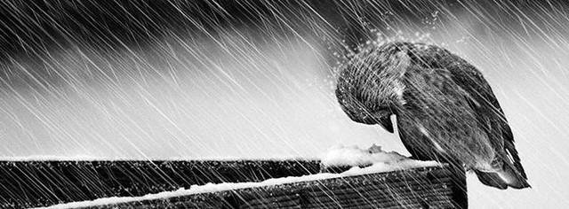 Birds In Rain Facebook Cover Photo