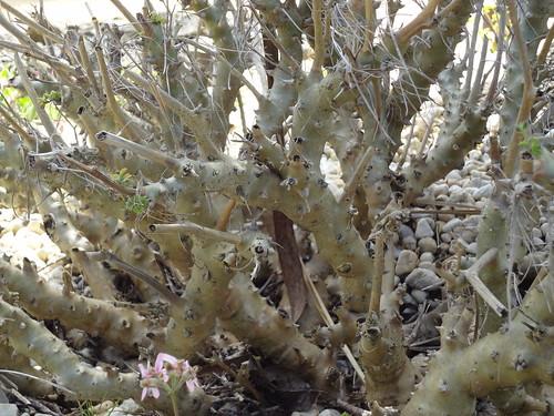 P. dasyphyllum