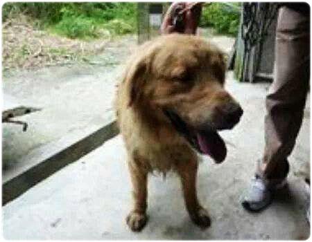 「認養推」黃金獵犬從收不到電信訊號的瑞芳收容所(山裡)住半年,轉到很難找的五股收容所(山裡),請給我一個機會!20131207