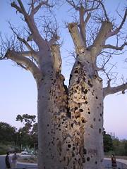 tree, trunk, adansonia,