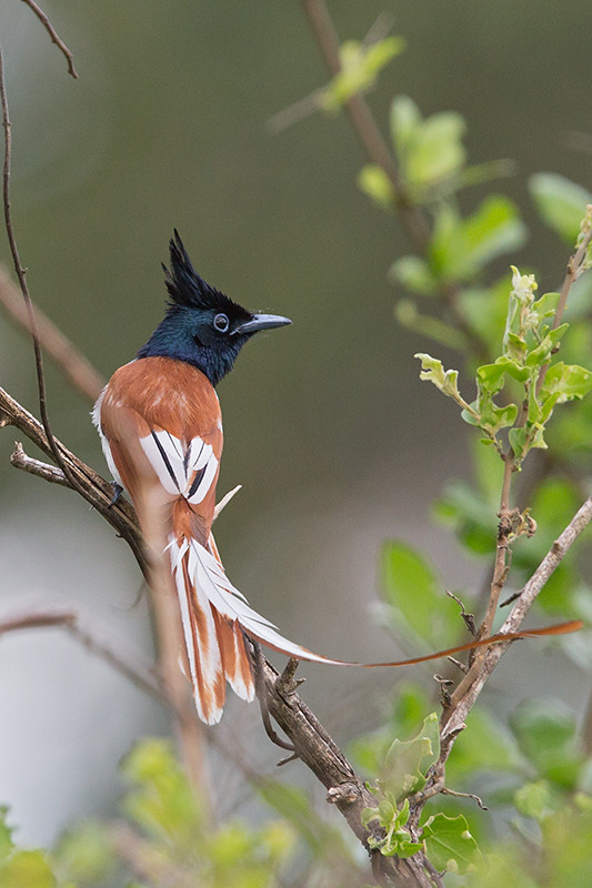 Paradise Flycatcher Sri Lanka 2013-11-27