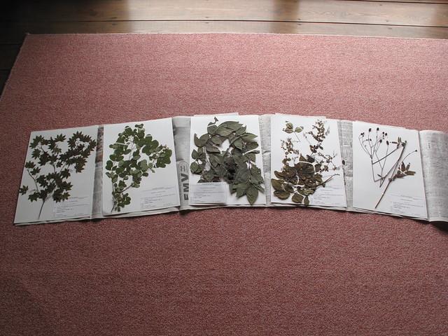 並べると,植物標本はやっぱり美しい.