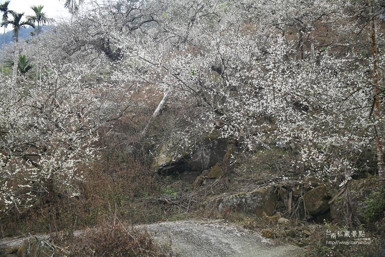 台南私藏景點--梅嶺梅花季  2013 (19)