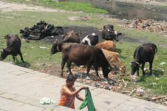 Święte krowy oczyszczaja Kathmandu ze śmieci