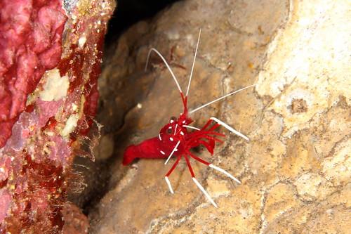 シロボシアカモエビ