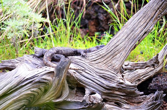 Giant lizard, El Hierro