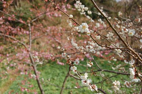 梅と桜と水仙