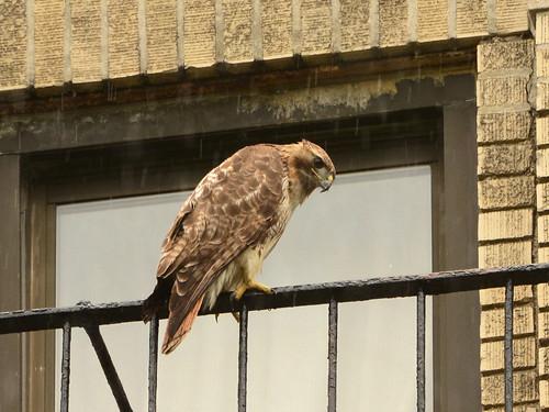 JHW Hawk (0501)
