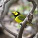Hooded Warbler, Prospect Park
