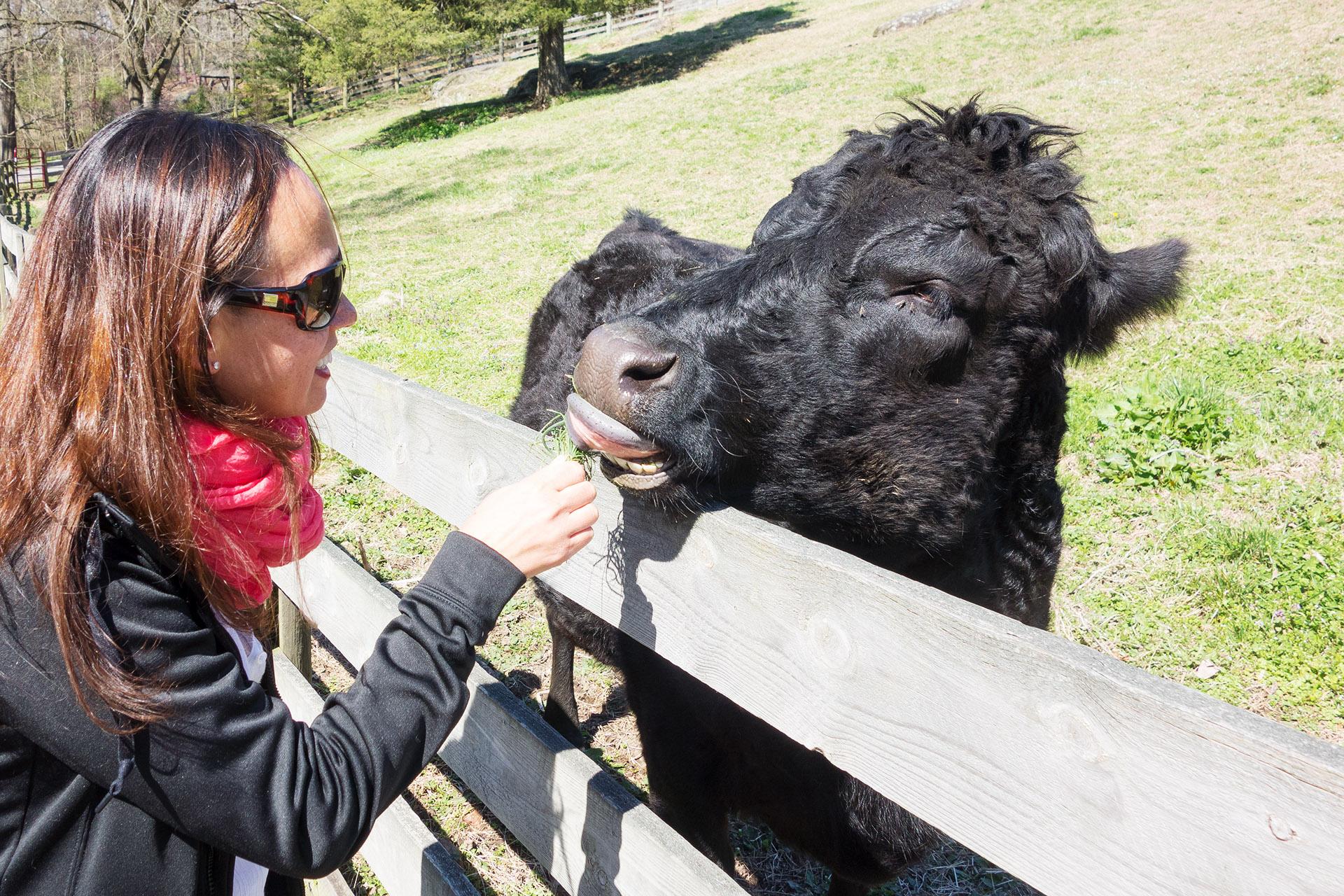 Heather feeding a cow at Maymont in Richmond VA.