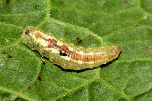 Hoverfly Larvae 27857