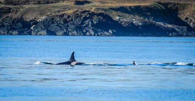 Cruiser Orca Whale