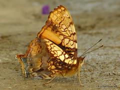 Orange admiral or orange mapwing, Hypanartia lethe