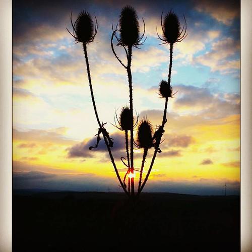 #sunset #karde #teasel