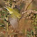 Tennessee Warbler by ShearH2O