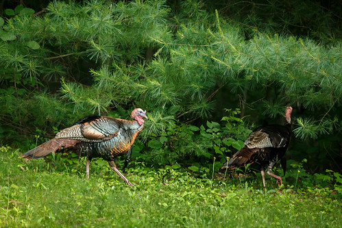 turkeys-4471.jpg