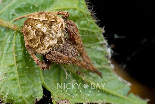 Orb Web Spider (Araneidae) - DSC_7254