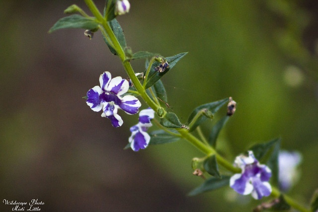 angelonia 'purple stripe'