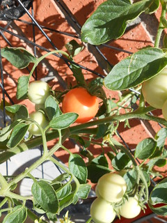 Red Tomatoes (1)