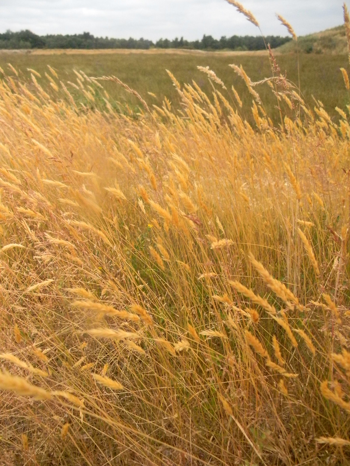 Golden grass Mortimer to Aldermaston Burnt Common.