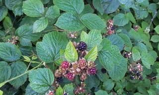 Black Blackberries!