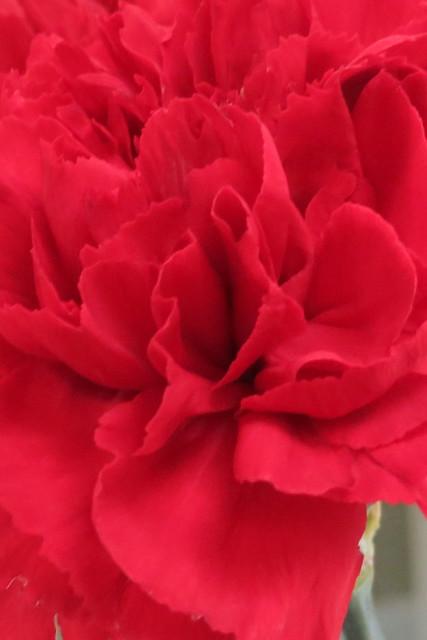 238.365 {Carnation}