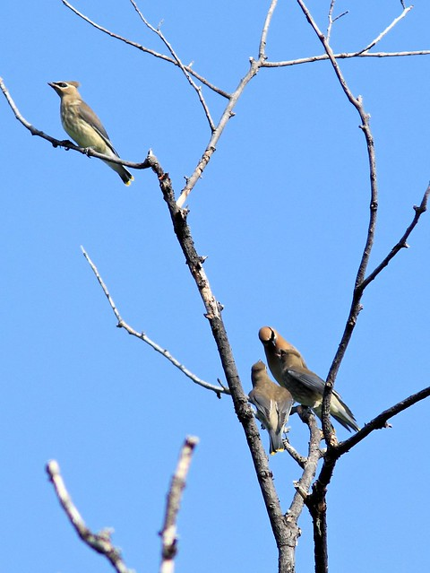 Cedar Waxwing feeding young 2-20130830