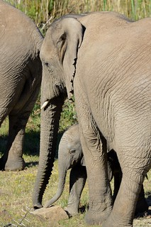 Elephants in Sanbona-06-1