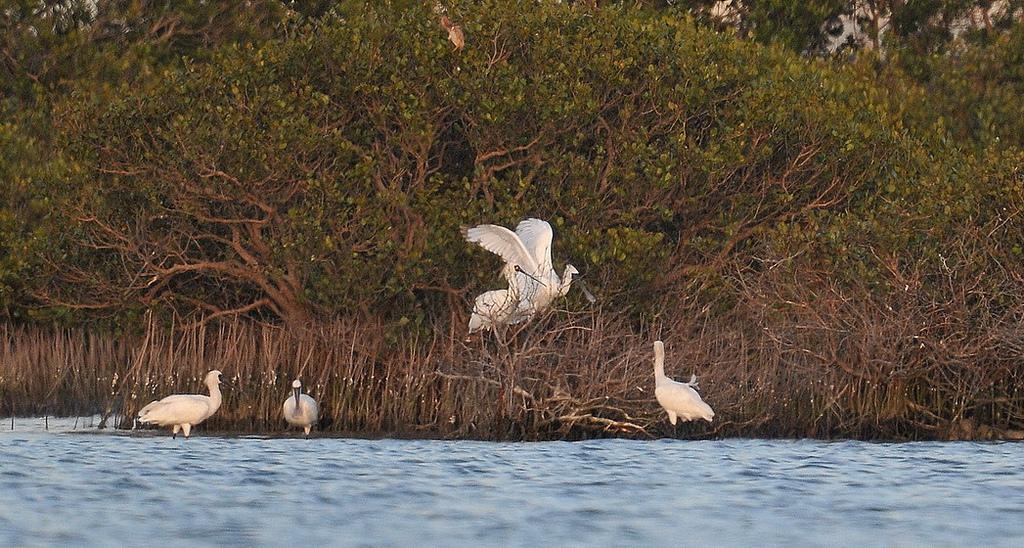 國際鳥類保育史上重大發現,5隻黑面琵鷺在七股過端午(照片提供:台南市生態保育學會)