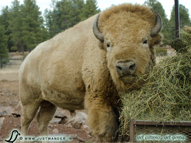 PIC: Bearizona's White Bison