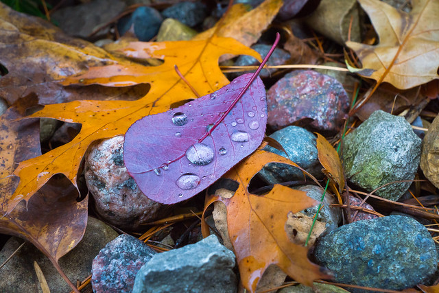 Fall, Autumn, Leaves, Rocks, Oak, Wet