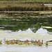 Les étangs des Quinconces, Andernos-les-Bains, Bassin d'Arcachon, Gironde, Gascogne, Aquitaine, France. ©byb64