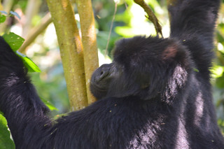 Gorilla in Trees