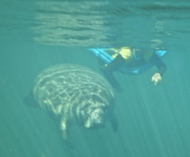 Manatee Snorkeling, Crystal River, Florida - swimming underwater with manatee
