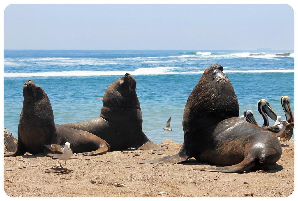 11 sea lions in iquique