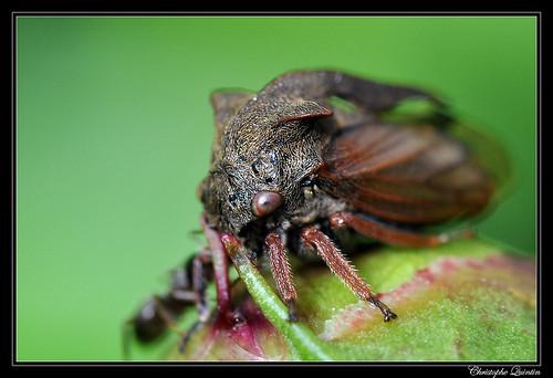 Demi-diable (Centrotus cornutus)