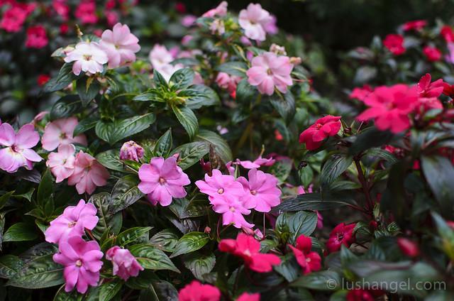 baguio-flowers