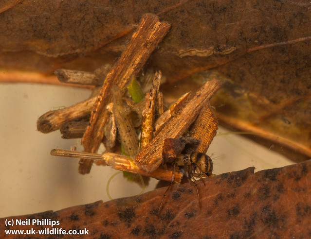 Twig case caddislfy larva - Limnephilus sp-7