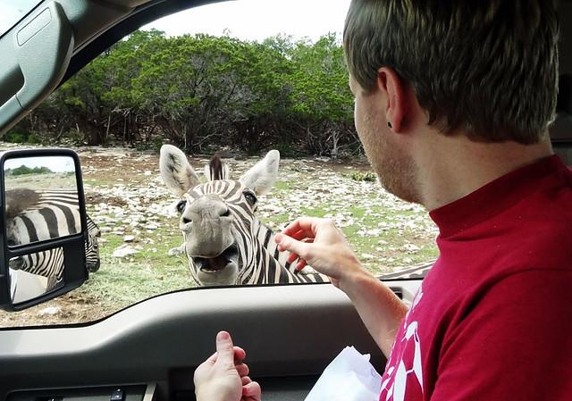 feeding-zebras