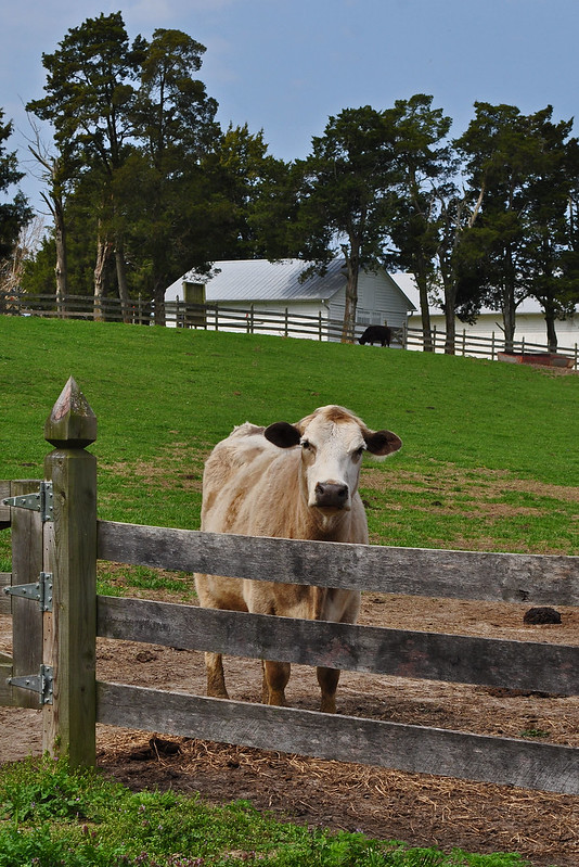 Chippokes Bovines (2)